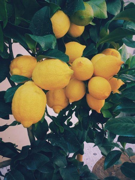 citromfa eladó